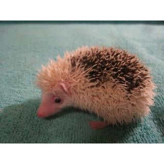 Hedgehog Specialized Colors Adoption Payment-Crazy Critters