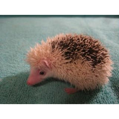 Hedgehog Specialized Colors Adoption Payment