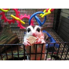 Final Payment Sugar Gliders/Two Babies & Crikey Kit