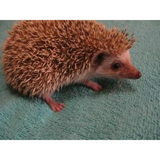 Hedgehog Standard Colors Adoption Payment-Crazy Critters