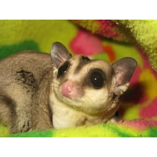 Final Payment Sugar Gliders/Two Babies & Crikey Kit-Crazy Critters