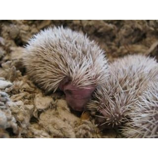 Deposit for a Hedgehog Baby-Crazy Critters