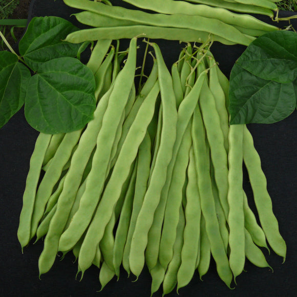 Hunter - 25 Seeds - Climbing French Beans