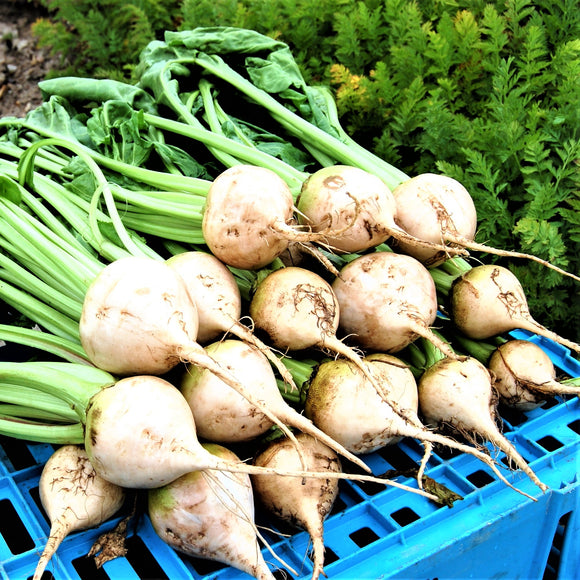 White Beetroot 'Avalanche F1' - 100 Seeds
