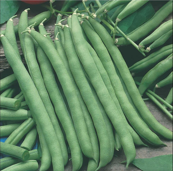 Blue Lake - 25 Seeds - Climbing French Beans