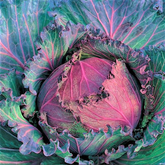Cabbage 'January King Extra Late' - 100 Seeds