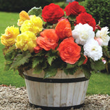 Upright Non-Stop Begonias - Mixed Colours