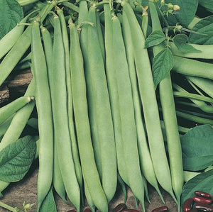 Canadian Wonder - 35 Seeds - Dwarf French Beans
