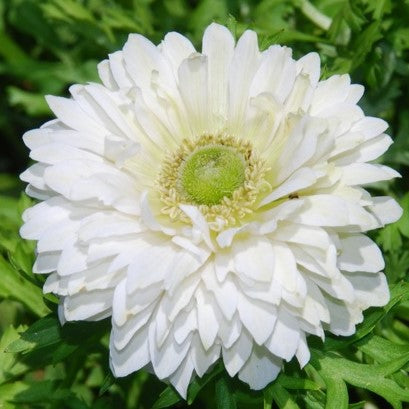 Anemone St Brigid - Mount Everest