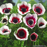Anemone De Caen - Bi-Color