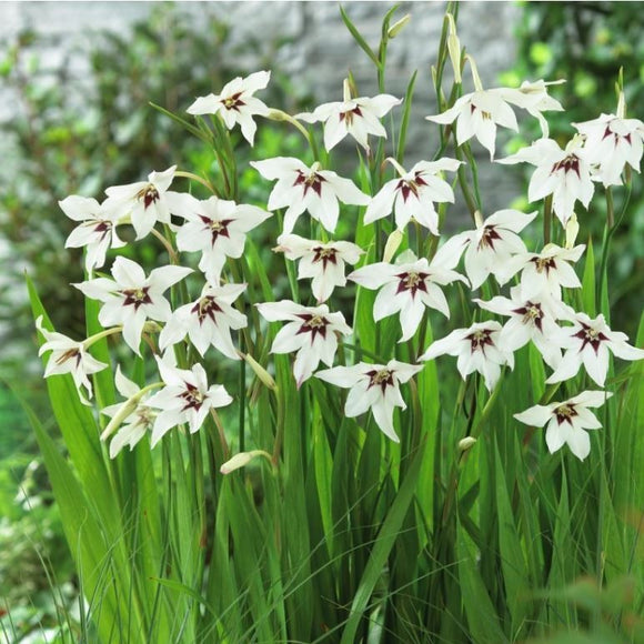 Acidanthera - The Peacock Orchid -Top size bulbs