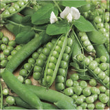 Ambassador - 35 Seeds - Marrowfat Peas