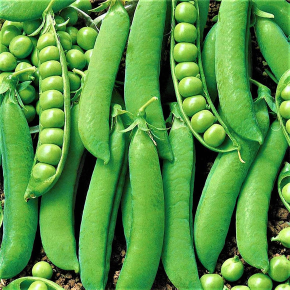 Early Onward - 35 Seeds - Garden Peas