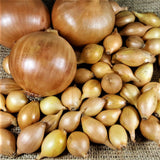 Jet Set Onion Sets - Autumn or Spring Planting