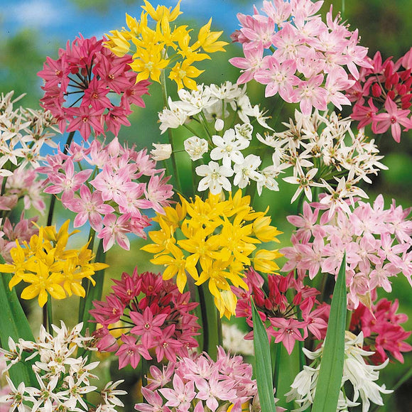 Small Flowering Mixed Alliums