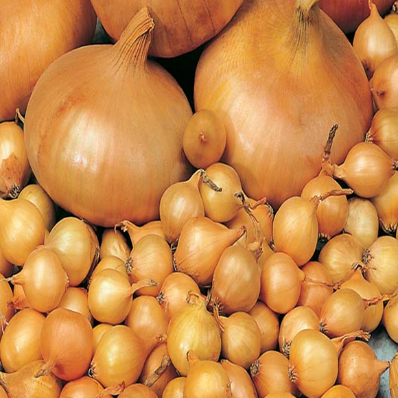 Rumba Onion Sets - Autumn or Spring Planting