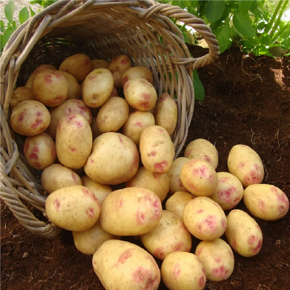 Maincrop - Picasso (15 Tubers)