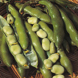 The Sutton - Autumn or Spring Planting Broad Beans - 35 Seeds