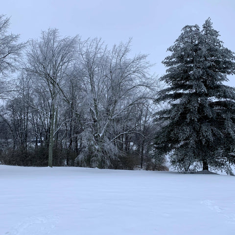 Snow covered ground with trees in the background. The trees limbs are covered in ice.