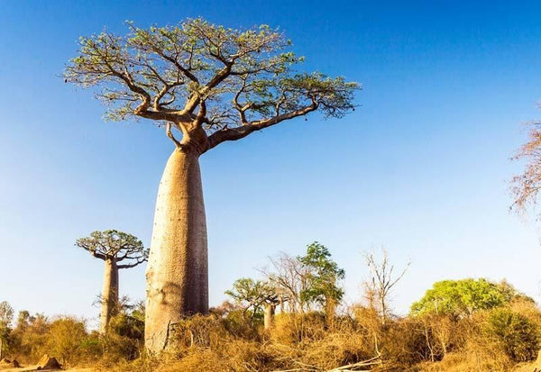 The African Baobab: The Gift that Keeps Giving