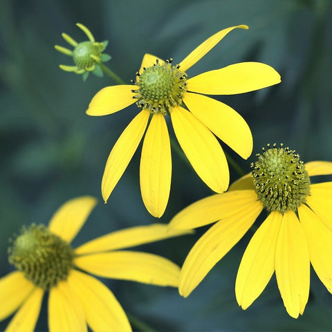 Arnica Flower Infused in Sunflower Oil - Certified Organic