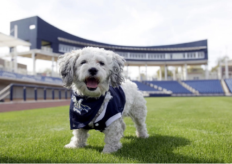 Hank the ballpark pup, unofficial dog mascot of the Milwaukee Brewers.