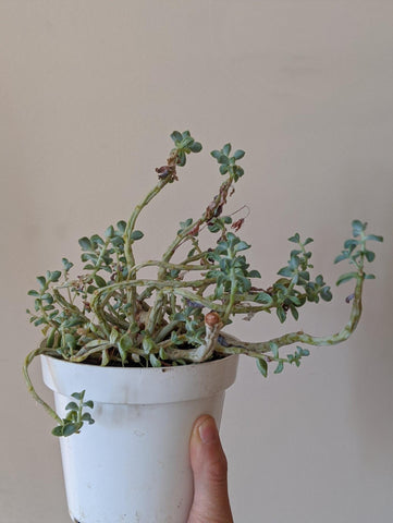 A somewhat brown, scraggly looking succulent in a white container.