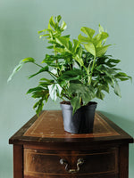 Philodendron monstera minima