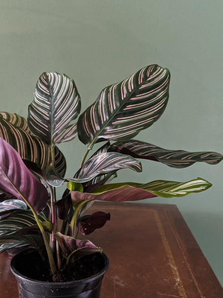 Pin stripe calathea ornate pink plants striped leaves Gettysburg PA