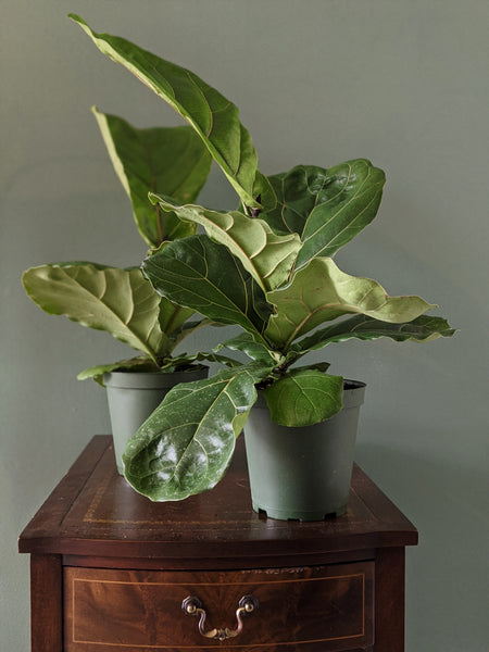 Ficus Lyrata | Fiddle Leaf Fig