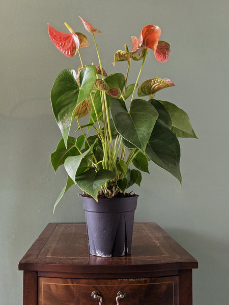 Anthurium Orange tropical houseplant Gettysburg PA plant shop Locaflora