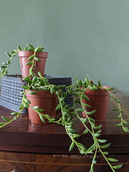 Senecio radicans | String of Bananas