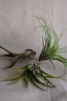 Air Plant | Tillandsia sp.