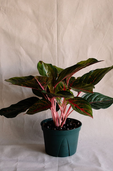 Aglaonema | Chinese Evergreen