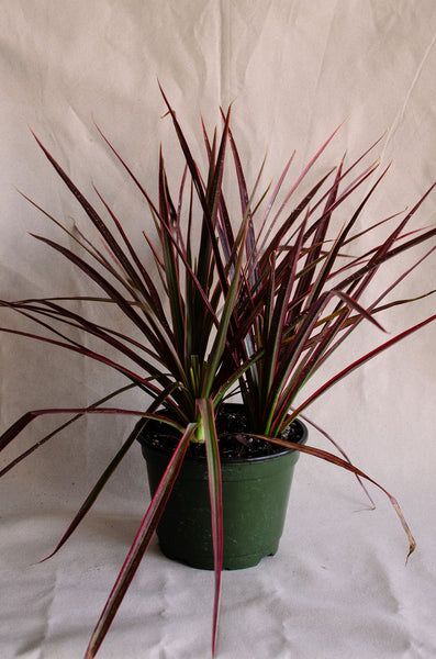 Dracaena marginata colorama