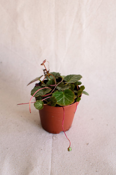 Saxifraga stolonifera | Strawberry Begonia