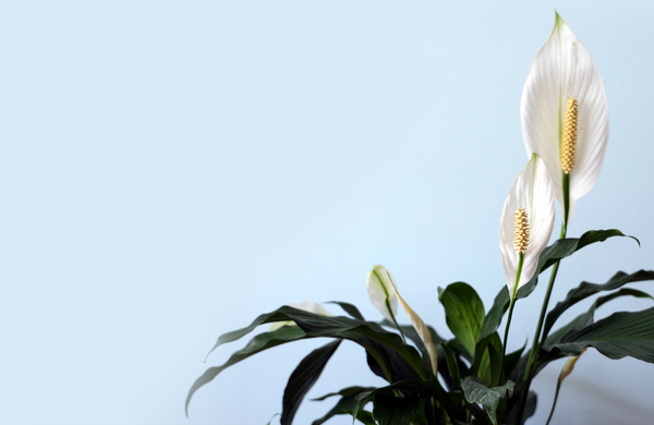 Peace lily with stunning foliage grown indoors