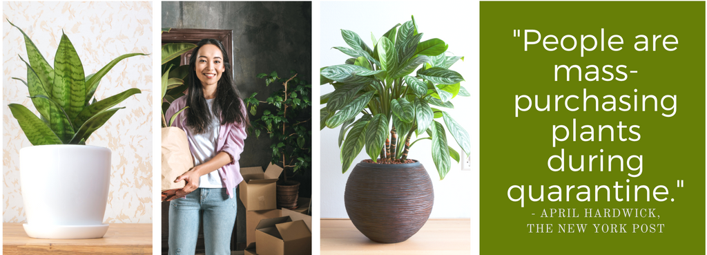 "Images of houseplants with quote ""People are mass-purchasing plants during quarantine"""
