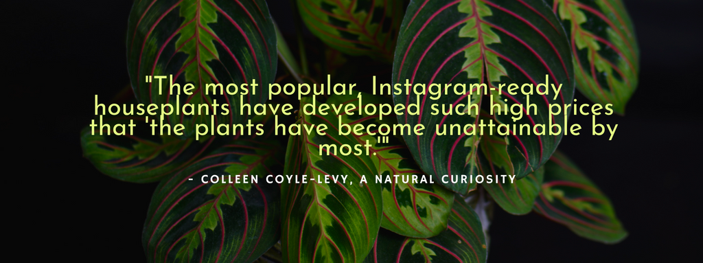 "Quote ""The most popular Instagram-ready houseplants have developed such high prices that the plants have become unattainable by most"""