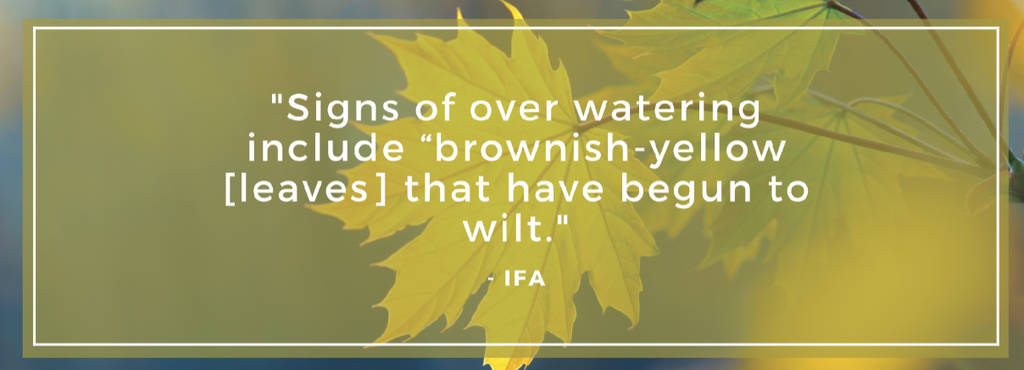 """""""Signs of over watering include brownish-yellow [leaves] that have begun to wilt"""""""