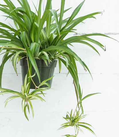 Spider plant with plantlets