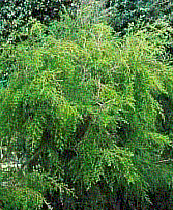 Organic Tea Tree Essential Oil (Melaleuca alternifolia)