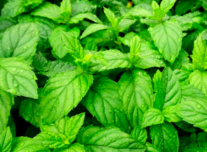 Organic Peppermint Essential Oil (Mentha piperita)