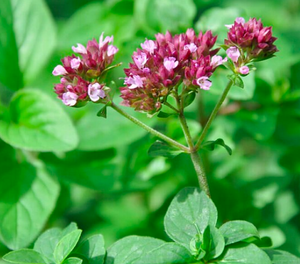 Organic Oregano Essential Oil (Origanum vulgaris)
