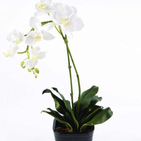Orchid in Black Square Pot