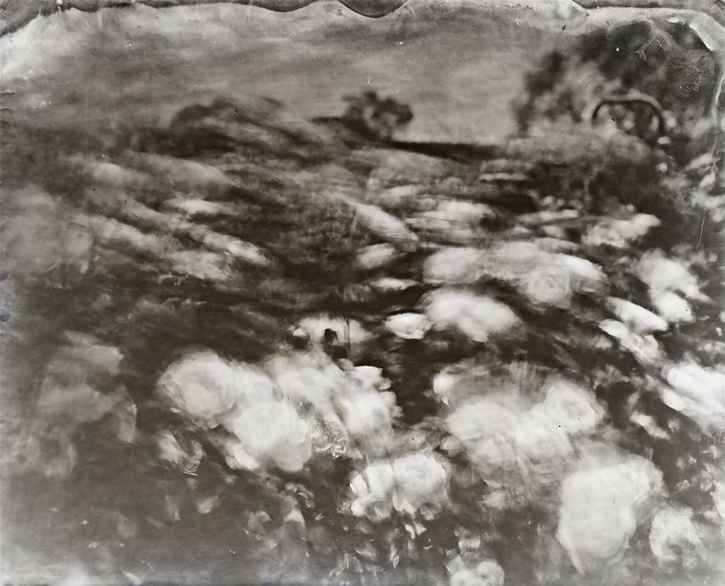 A Wet Collodion Ambrotype print study of Roses in the Wind at RHS Hyde Hall.