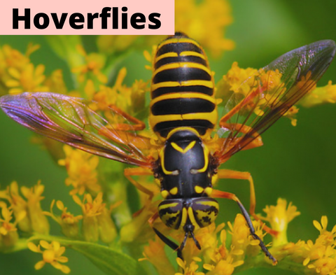 Hoverflies as beneficial insect