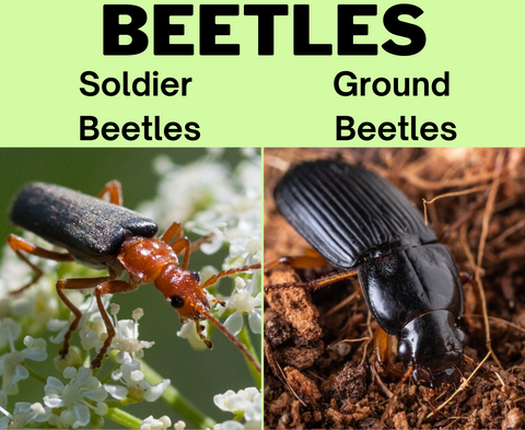 beetles as beneficial insect