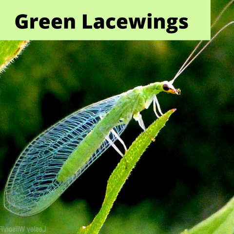 green lacewings as beneficial insect