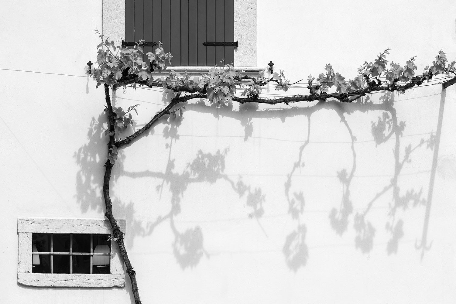 A black and white image of a vine along a white wall with shadows below in Limone sul Garda on the bank of Lake Garda, Italy.